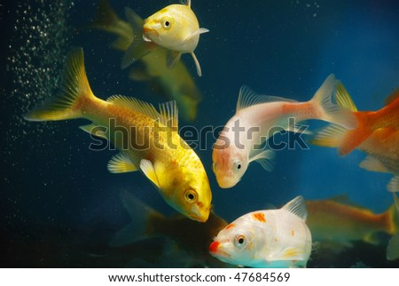 The colorful koi fishes or golden fish swim carefree in the aquarium.