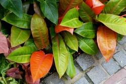 The colorful leaves of Philodendron Prince of Orange plant