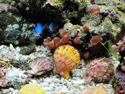 The colorful of Mimachlamys senatoria in marine aquarium. It is a genus of scallops, marine bivalve molluscs in the family Pectinidae.