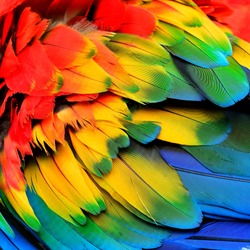 The colorful of puffy Scarlet Macaw bird's feathers with red orange yellow and blue shades