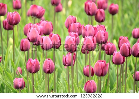 The colorful purple tulips blooming in a field