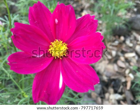 The colorful star blossoms are brightly coloured. #797717659