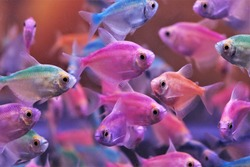 The colorful tetras Fish (Gymnocorymbus ternetzi) in fish tank. These fish were injected with color to make it beautiful for trade.