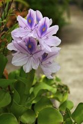 The colors of the aquatic plant, common water hyacinth