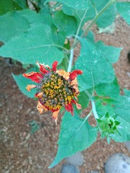 The colours of the filt zinnia's flower