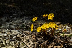 The coltsfoot grows as a perennial herbaceous plant and reaches heights of 10 to 30 centimeters with long-stalked and basal leaves. the yellow blossoms glows in the darkness of the quarry, stony way