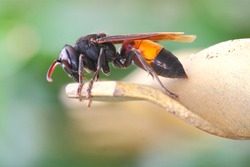 the Common asian hornet bee