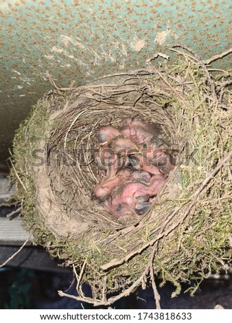 The common blackbird Turdus merula blue colored eggs in a nest. Close-up of four blue eggs in a nest. of the black bird, also known as Eurasian blackbird in Spain. Stock foto ©