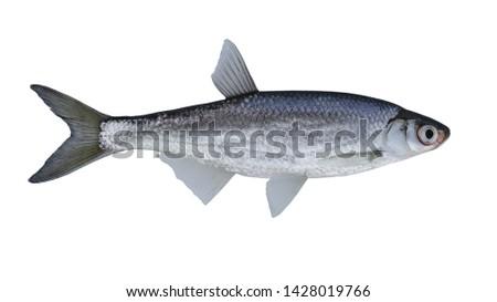 The common bleak (Alburnus alburnus) is a small freshwater fish