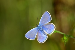 The common blue butterfly (Polyommatus icarus) is a butterfly in the family Lycaenidae and subfamily Polyommatinae.