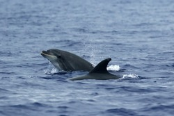 The common bottlenose dolphin or Atlantic bottlenose dolphin (Tursiops truncatus) on the high seas. A pair of dolphins in the Atlantic.