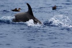The common bottlenose dolphin or Atlantic bottlenose dolphin (Tursiops truncatus) on the high seas.