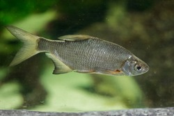 The common bream, freshwater - bronze - carp bream or just the Bream (Abramis brama). European species of freshwater fish in the family Cyprinidae