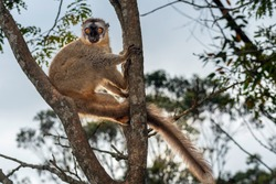 The common brown lemur (Eulemur fulvus) is a species of lemur in the family Lemuridae. It is found in Madagascar and Mayotte