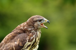 The common buzzard (Buteo buteo), portrait. Portrait of a buzzard with an open beak.