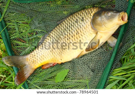 The Common carp (Cyprinus carpio) in landing net.