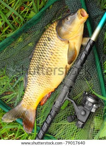 The Common carp (Cyprinus carpio) in landing net.