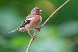 The common chaffinch (Fringilla coelebs) is a common and widespread small passerine bird in the finch family. Photo was taken in Ukraine