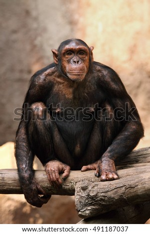The common chimpanzee (Pan troglodytes), also known as the robust chimpanzee sitting with the yellow background #491187037