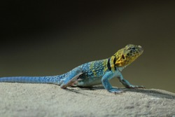 The common collared lizard (Crotaphytus collaris), also called eastern collared , Oklahoma collared  or collared lizard, is a North American lizard.