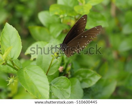 the common crow butterfly perched on a small flower bud green leaves background