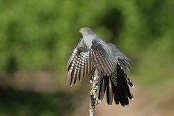 The common cuckoo is a member of the cuckoo order of birds, Cuculiformes