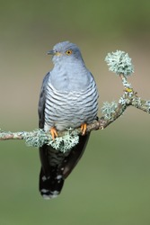The common cuckoo is a member of the cuckoo order of birds, Cuculiformes, which includes the roadrunners, the anis and the coucals.