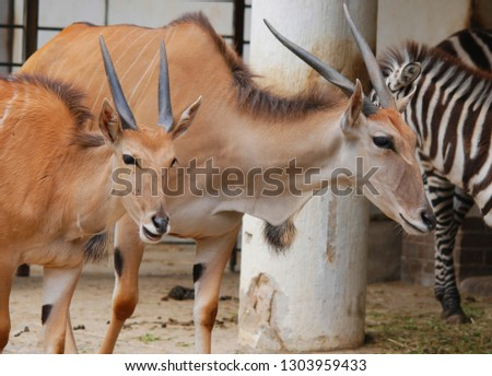 The common eland, also known as the southern eland or eland antelope, is a savannah and plains antelope found in East and Southern Africa