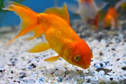 The common goldfish is a breed of goldfish with no other differences from its living ancestor, the Prussian carp,