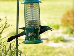The Common Grackle perched on bird-feeder taking full control of it over other birds.  Looking fierce.