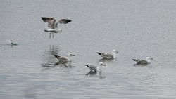 The common gull, mew gull, or sea mew (Larus canus) has surrounded the water tanks in northern Slovakia.