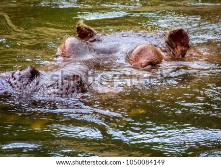 The common hippopotamus (Hippopotamus amphibious), or hippo, is a large, mostly herbivorous, semi-aquatic mammal native to sub-Saharan Africa, and one of only two extant species in the family.