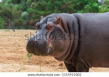 The common hippopotamus, Hippopotamus amphibius, or hippo, is a large, mostly herbivorous, semiaquatic mammal native to sub-Saharan Africa Stock foto ©