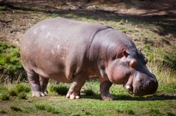 The common hippopotamus, Hippopotamus amphibius, or hippo. Large, mostly herbivorous, semiaquatic mammal looks for food on land in grass.