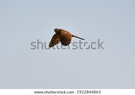 The common kestrel (Falco tinnunculus) is a bird of prey species belonging to the kestrel group of the falcon family Falconidae. It is also known as the European kestrel, Eurasian kestrel. Stock fotó ©
