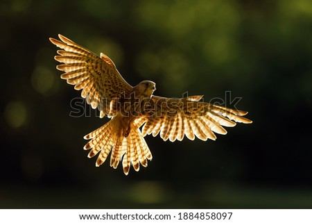 The common kestrel (Falco tinnunculus) or European or Eurasian kestrel flying in backlight. Female kestrel with outstretched wings.Artistic submission of a bird of prey. Stock fotó ©