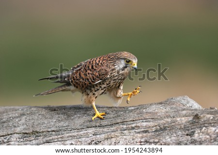 The common kestrel is a bird of prey species belonging to the kestrel group of the falcon family Falconidae. Stock fotó ©