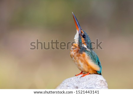 The common kingfisher (Alcedo atthis) also known as the Eurasian kingfisher, and river kingfisher