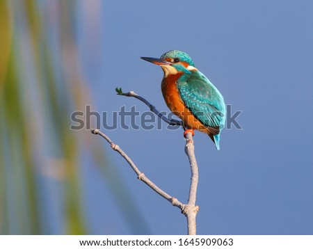 The common kingfisher (Alcedo atthis) also known as the Eurasian kingfisher, and river kingfisher, is a small kingfisher