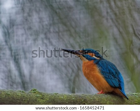 The common kingfisher, Alcedo atthis, also known as the Eurasian kingfisher, and river kingfisher, is a small kingfisher with distribution across Eurasia and North Africa.