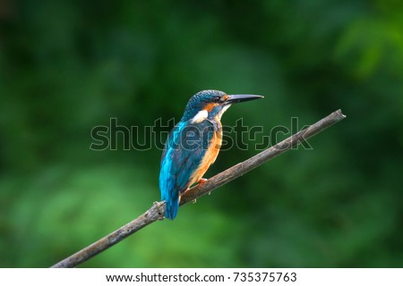 The common kingfisher (Alcedo atthis) also known as the Eurasian kingfisher, and river kingfisher, is a small kingfisher with seven subspecies recognized within its wide distribution across Eurasia