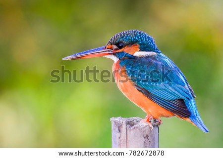 The common kingfisher (Alcedo atthis) also known as the Eurasian kingfisher, and river kingfisher, is a small kingfisher with seven subspecies.