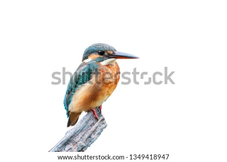 The common kingfisher (Alcedo atthis)the Eurasian kingfisher, and river kingfisher, is a small kingfisher with seven subspecies recognized within its wide distribution across Eurasia and North Africa.