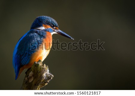 The common kingfisher (Alcedo atthis) the Eurasian kingfisher, and river kingfisher, is a small kingfisher with seven subspecies recognized within its wide distribution across Eurasia and North Africa