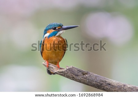 The common kingfisher (Alcedo atthis)the Eurasian kingfisher, and river kingfisher, is a small kingfisher with seven subspecies recognized within its wide distribution across Eurasia and North Africa