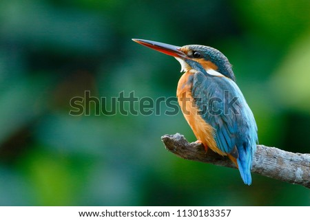 The common kingfisher (Alcedo atthis) wetlands birds's colored feathers from different birds that live in ponds, swamps. Clamp winter migratory birds stayed about 3 months, Bang Poo, Thailand. #1130183357