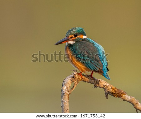 The common kingfisher also known as the Eurasian kingfisher and river kingfisher is a small kingfisher with seven subspecies recognized within its wide distribution across Eurasia and North Africa