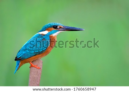 The common kingfisher, also known as the Eurasian kingfisher and river kingfisher, is a small kingfisher with seven subspecies recognized within its wide distribution across Eurasia and North Africa.