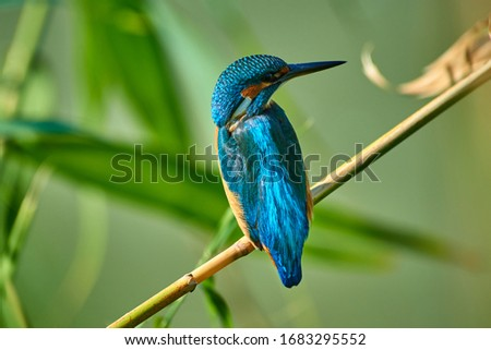 The common kingfisher  sitting on the branch.  The common kingfisher (Alcedo atthis) also known as the Eurasian kingfisher or river kingfisher.