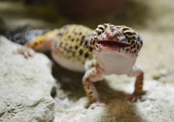 The common leopard gecko eats the cricket, sticks its feeler out of its mouth, laughs